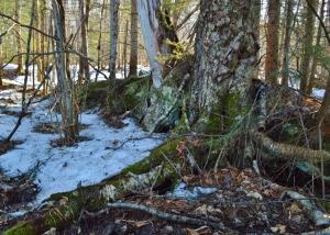 Gichi-Nokomis - The Great-Grandmother Tree (yellow birch)