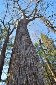 The Mishomis Tree (basswood)